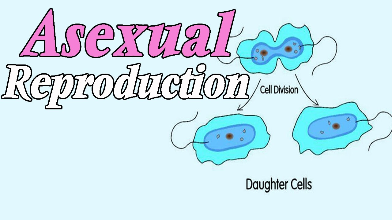 Asexual reproduction related words to the word